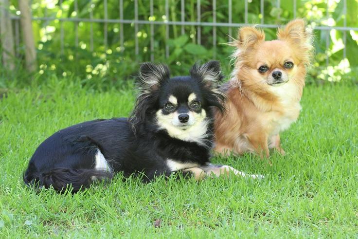 Chihuahuas Vom Quellenreich